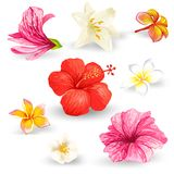 Set of vector illustrations of tropical hibiscus flowers. Set of vector illustrations of tropical hibiscus flowers with pink, red, yellow and white petals  on a Royalty Free Stock Photography