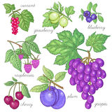 Set of vector images of fruit and berries. Red currants, gooseberries, blueberries, raspberries, grapes, cherries, plums. Vector illustration of different Stock Photos