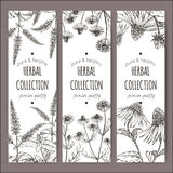 Set of 3 vector labels with peppermint, chamomile and echinacea Stock Images