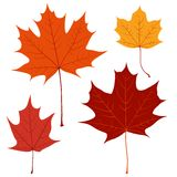 Set of vector maple leaves for your design Stock Images
