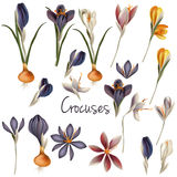 Set of vector realistic crocus flowers in pastel colors. Collection of vector realistic crocus flowers in pastel colors Stock Photos