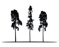Set of vector silhouettes of high coniferous trees. Isolated on white background Royalty Free Stock Photo