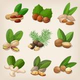Set of vector various nuts. Vector illustration vector illustration