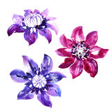 Set with vector watercolor clematis Royalty Free Stock Images