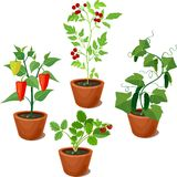 Set of vegetable crops in flowerpots Royalty Free Stock Images
