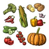 Set vegetables. Cucumbers, Garlic, Corn, Pepper, Broccoli, Potato and Tomato. Stock Photos