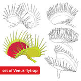 Set of Venus Flytrap or Dionaea muscipula isolated on white background. Illustrated series of carnivorous plants. Royalty Free Stock Image