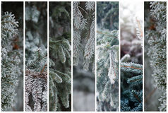 Set of vertical rectangles with Christmas, winter backgrounds  frosty pine tree. Beautiful seasonal background Royalty Free Stock Photography