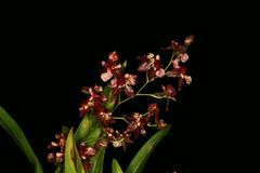 Set  of very small red orchid flower. Beautiful set of red orchid flower Stock Photography