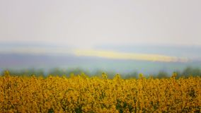 A set of video files blooming canola fields. Blooming rapeseed fields in the video collection stock footage
