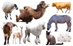 Set Vieh lizenzfreies stockbild
