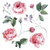 Set vintage watercolor bouquet of roses leaves Royalty Free Stock Image