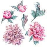 Set of vintage watercolor flowers peonies Stock Photos
