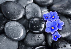 Set of violet flowers on pebble Royalty Free Stock Image