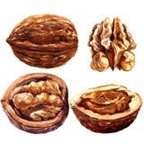 Set of walnuts isolated on white background. Stock Photo