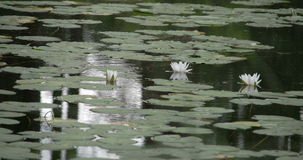 Set of water lilies on the pond stock footage