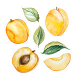 Set of watercolor apricot with leaf Stock Image