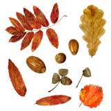 Set of watercolor autumn oak, rowan, aspen leaves and acorns royalty free stock photography