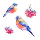 Set of watercolor bullfinches and rowan`s berry. Hand painted il. Lustrations isolated on white. Drawings suitable for sticker, design of winter products, snow Stock Illustration