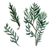 Set of Watercolor Christmas tree branches. Hand painted illustration Royalty Free Stock Photos