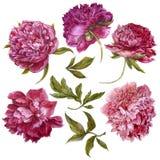 Set of watercolor dark pink peonies, separate Royalty Free Stock Photos