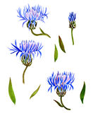 Set of watercolor drawing cornflowers Royalty Free Stock Photos