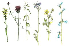 Set of watercolor drawing flowers and plants. Set of watercolor and ink drawing wild plants with flowers,buds and leaves, isolated color floral elements, hand Stock Photo