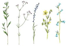 Set of watercolor drawing flowers and plants. Set of watercolor and ink drawing wild plants with flowers,buds and leaves, isolated color floral elements, hand Stock Photos