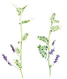 Set of watercolor drawing flowers and plants. Set of watercolor drawing wild plants with flowers,buds and leaves, painted botanical illustration in vintage style Stock Images