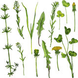 Set of watercolor drawing herbs and flowers Stock Photography