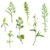 Set of watercolor drawing herbs and leaves Stock Image