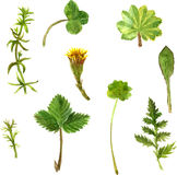 Set of watercolor drawing herbs and leaves Royalty Free Stock Image