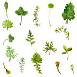 Set of watercolor drawing herbs and leaves Royalty Free Stock Images