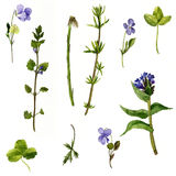 Set of watercolor drawing herbs and leaves Royalty Free Stock Photography