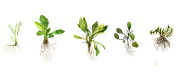 Set of watercolor drawing herbs with roots Stock Images