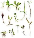 Set of watercolor drawing herbs with roots Royalty Free Stock Images