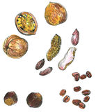Set of watercolor drawing nuts Stock Photography