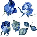 Set of watercolor drawing roses Stock Image