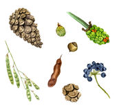 Set of watercolor drawing seeds, berries and cones Royalty Free Stock Photo