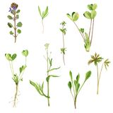 Set of watercolor drawing herbs and leaves royalty free illustration