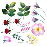 Set of watercolor elements rosehip Royalty Free Stock Images