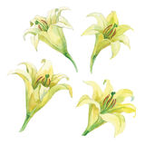 A set of watercolor etudes of a flower of a lily Royalty Free Stock Images