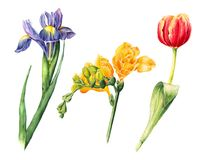 Set of watercolor flowers - iris, freesia, tulip. Hand drawn iris, fleur-de-lis and tulip painting, watercolor illustration isolated on white background vector illustration