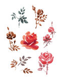 Set of watercolor flowers and leaves. Roses on a white background. Stock Photo