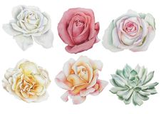 Set with watercolor flowers. Rose. Succulents. royalty free stock photography