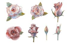 Set of watercolor flowers. Roses. Graphic element. Open and closed buds. Pink rose flower, red flower. Wedding concept. With flowers. Floral poster, invitation vector illustration