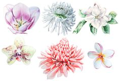 Set with watercolor flowers. Tulip. Chrysanthemum. Orchid Plumeria. Etlingera. stock photography