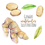 Set of watercolor ginger elements Stock Image