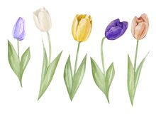 Set watercolor hand drawn elements of Tulips collection garden and wild flowers, easter florals, leaves. Botanical illustration is