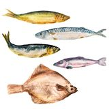 Set of watercolor images of different fish. On white background. Cod, herring, flounder, smelt Royalty Free Stock Photography